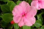 Фото 13 55 фото бальзамина: уход в саду и в домашних условиях