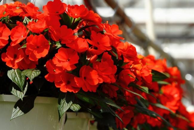 Импатиенс известен также как многолетнее неприхотливое домашнее растение