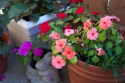 Фото 6 55 фото бальзамина: уход в саду и в домашних условиях
