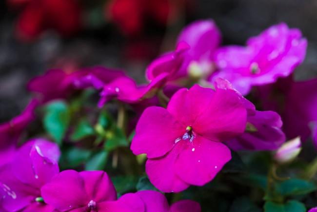Замечательные бутоны импатиенса розового цвета