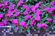 Фото 19 55 фото бальзамина: уход в саду и в домашних условиях