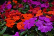 Фото 2 55 фото бальзамина: уход в саду и в домашних условиях