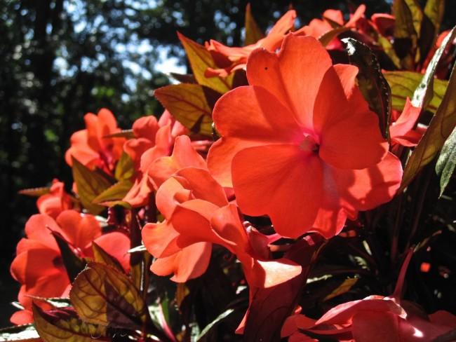 Эффектное сочетание красных цветов и листьев с бронзовым оттенком