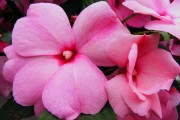 Фото 24 55 фото бальзамина: уход в саду и в домашних условиях
