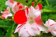 Фото 3 55 фото бальзамина: уход в саду и в домашних условиях