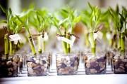 Фото 3 Комнатное растение бамбук (48 фото): уход и размножение