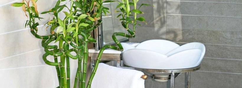 Комнатное растение бамбук (48 фото): уход и размножение