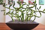 Фото 17 Комнатное растение бамбук (48 фото): уход и размножение