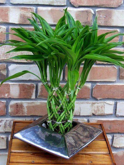Растению можно придать декоративный вид самостоятельно в период его роста