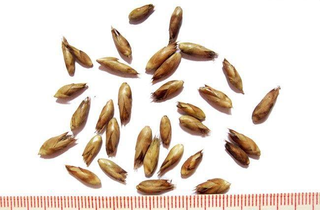 Семена Драцена Сандеры