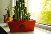 Фото 14 Комнатное растение бамбук (48 фото): уход и размножение