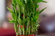 Фото 6 Комнатное растение бамбук (48 фото): уход и размножение