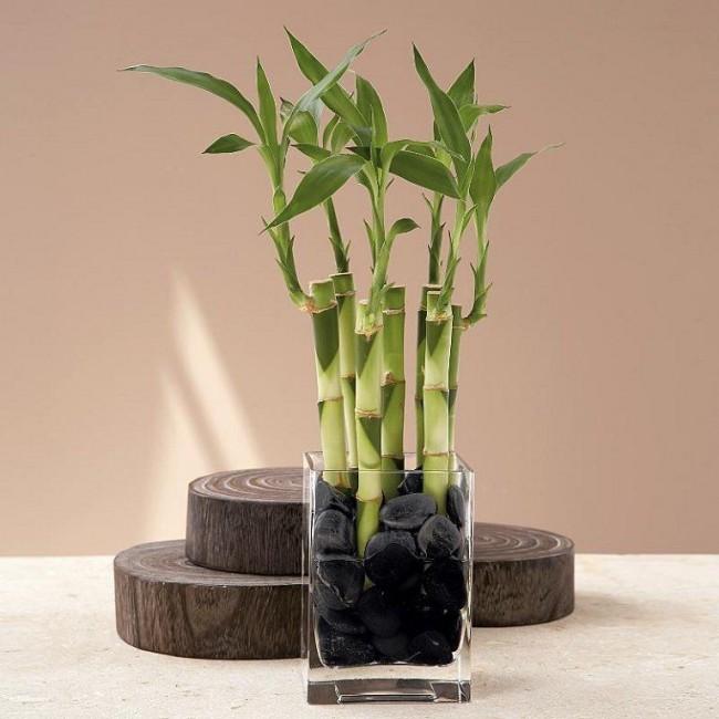 Если бамбук растет не в грунте, а в емкости с водой, необходимо менять воду каждые две недели