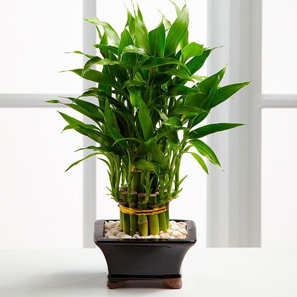 бамбук фото в горшке
