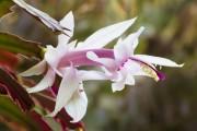 Фото 13 Декабрист (цветок): уход в домашних условиях