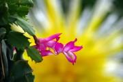 Фото 14 Декабрист (цветок): уход в домашних условиях