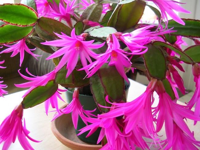 Эффектные розовые цветы декабриста