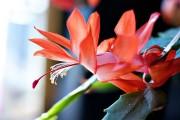 Фото 3 Декабрист (цветок): уход в домашних условиях