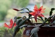 Фото 26 Декабрист (цветок): уход в домашних условиях