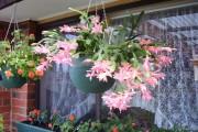 Фото 18 Декабрист (цветок): уход в домашних условиях