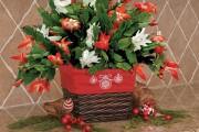 Фото 5 Декабрист (цветок): уход в домашних условиях