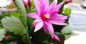 Декабрист (цветок): уход в домашних условиях фото