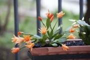 Фото 9 Декабрист (цветок): уход в домашних условиях
