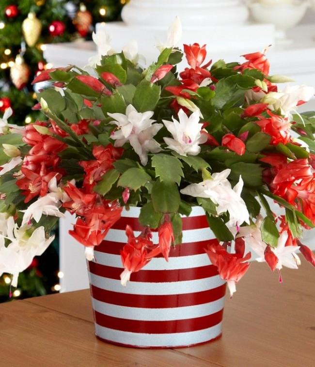 Своим многообразием окраски цветов декабрист заслужил популярность среди цветоводов-любителей