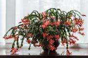 Фото 25 Декабрист (цветок): уход в домашних условиях