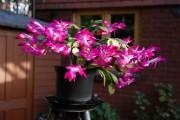 Фото 2 Декабрист (цветок): уход в домашних условиях