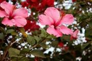 Фото 4 80+ фото гибискуса: экзотический домашний красавец