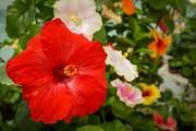 Фото 10 80+ фото гибискуса: экзотический домашний красавец
