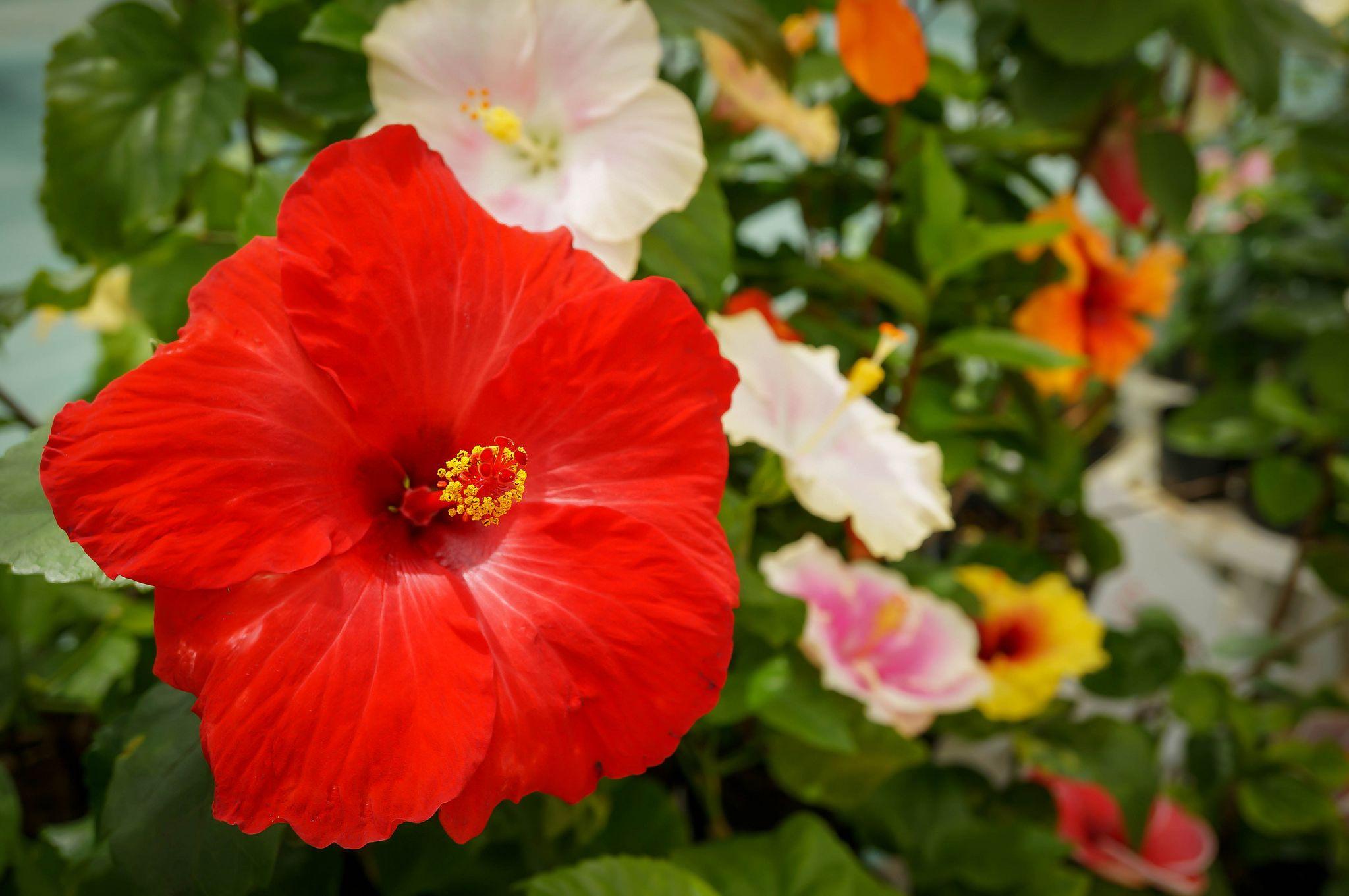 Цветы гибискуса только фото показать