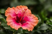 Фото 6 80+ фото гибискуса: экзотический домашний красавец
