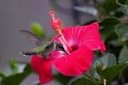 Фото 5 80+ фото гибискуса: экзотический домашний красавец