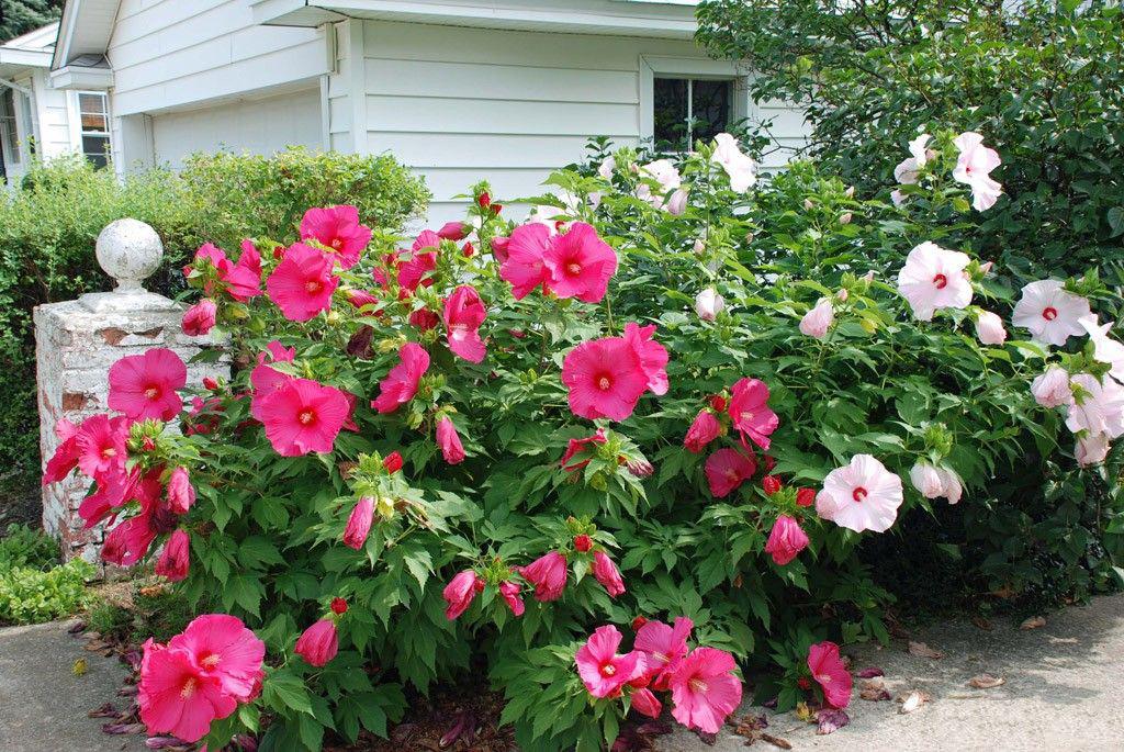 Фото гибискусов садовых