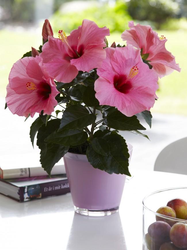 Садовые сорта гибискуса можно выращивать и дома