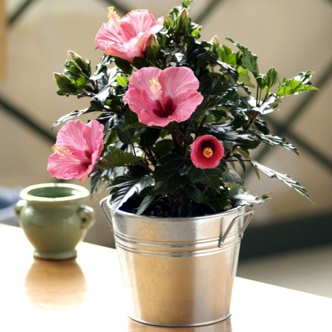 Китайская роза помимо своей красоты обладает и великолепным ароматом