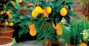Комнатный лимон: сорта, уход в домашних условиях фото