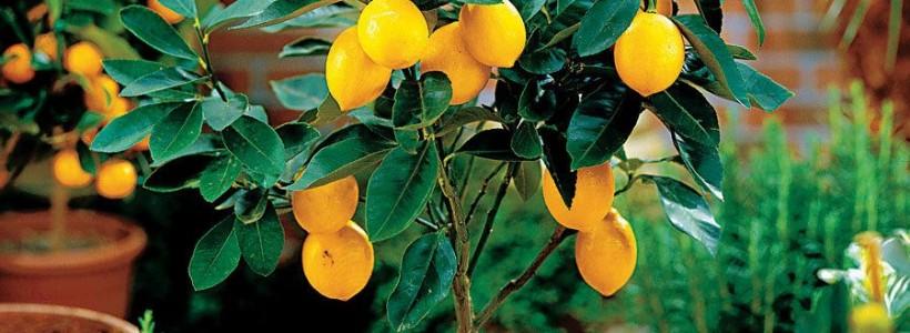 Комнатный лимон: сорта, уход в домашних условиях