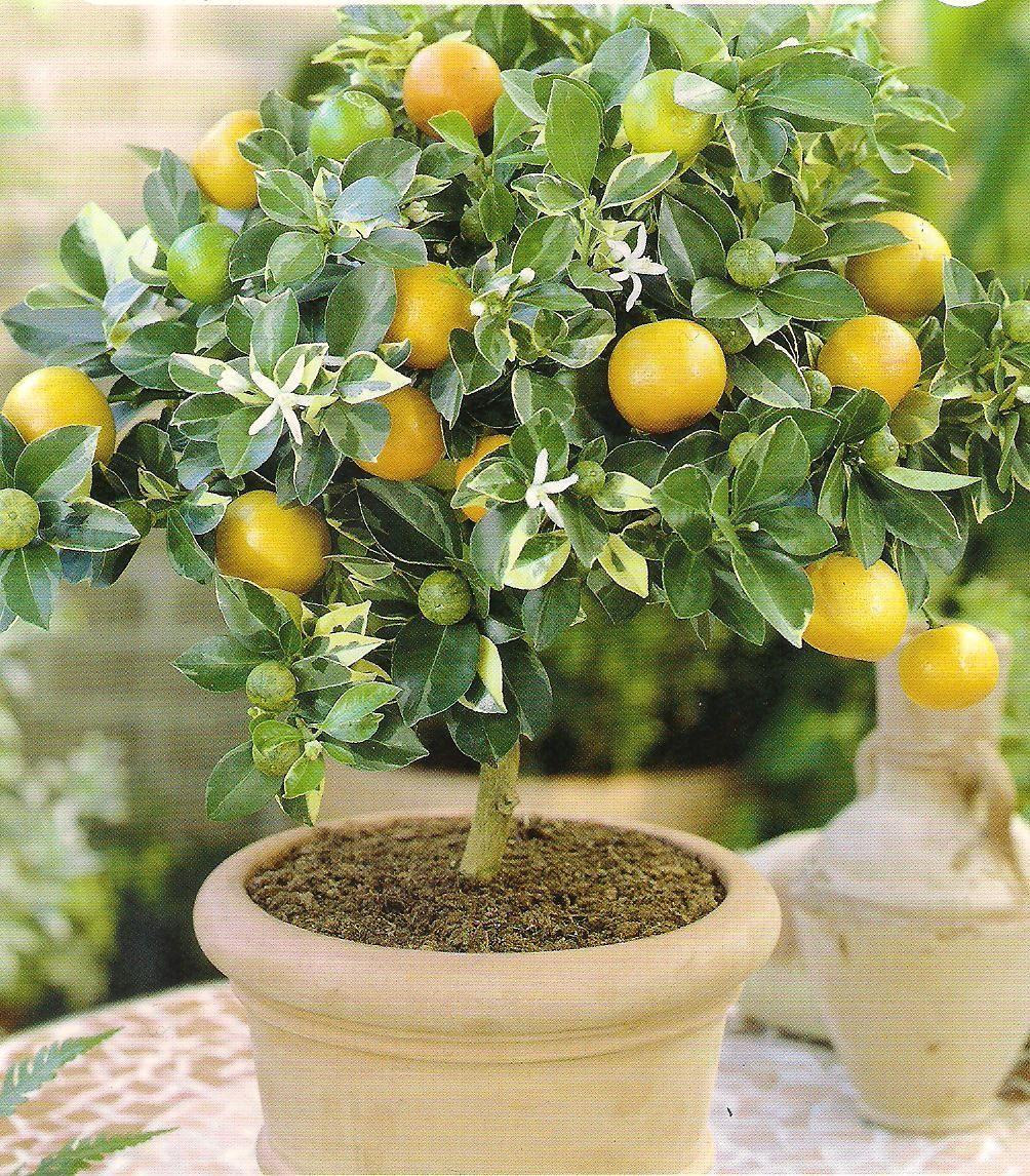 Домашний лимон уход в домашних условиях фото 566