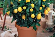Фото 4 Комнатный лимон: сорта, уход в домашних условиях