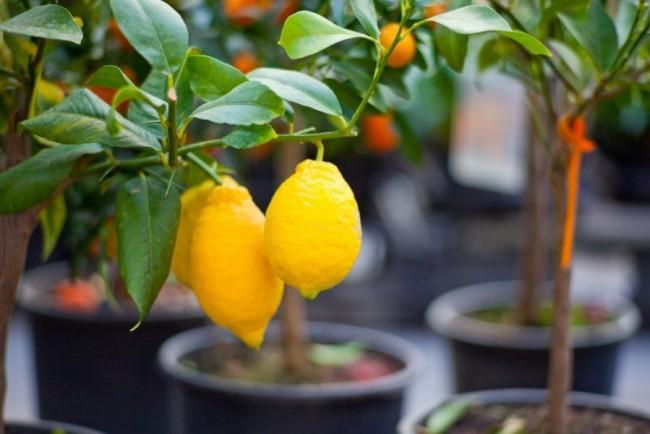 Выращивание апельсина дома 46