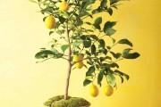 Фото 15 Комнатный лимон: сорта, уход в домашних условиях