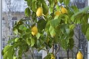 Фото 17 Комнатный лимон: сорта, уход в домашних условиях