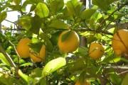 Фото 18 Комнатный лимон: сорта, уход в домашних условиях