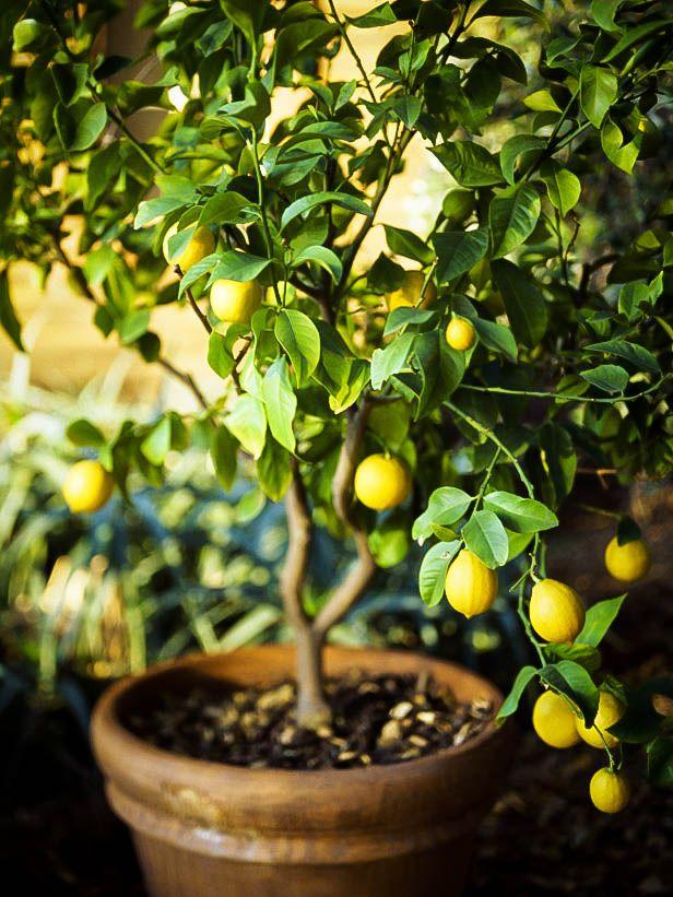 Чтобы дерево хорошо плодоносило, его необходимо периодически удобрять