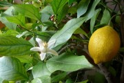Фото 21 Комнатный лимон: сорта, уход в домашних условиях