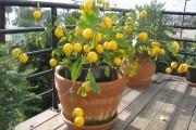 Фото 23 Комнатный лимон: сорта, уход в домашних условиях