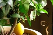 Фото 24 Комнатный лимон: сорта, уход в домашних условиях